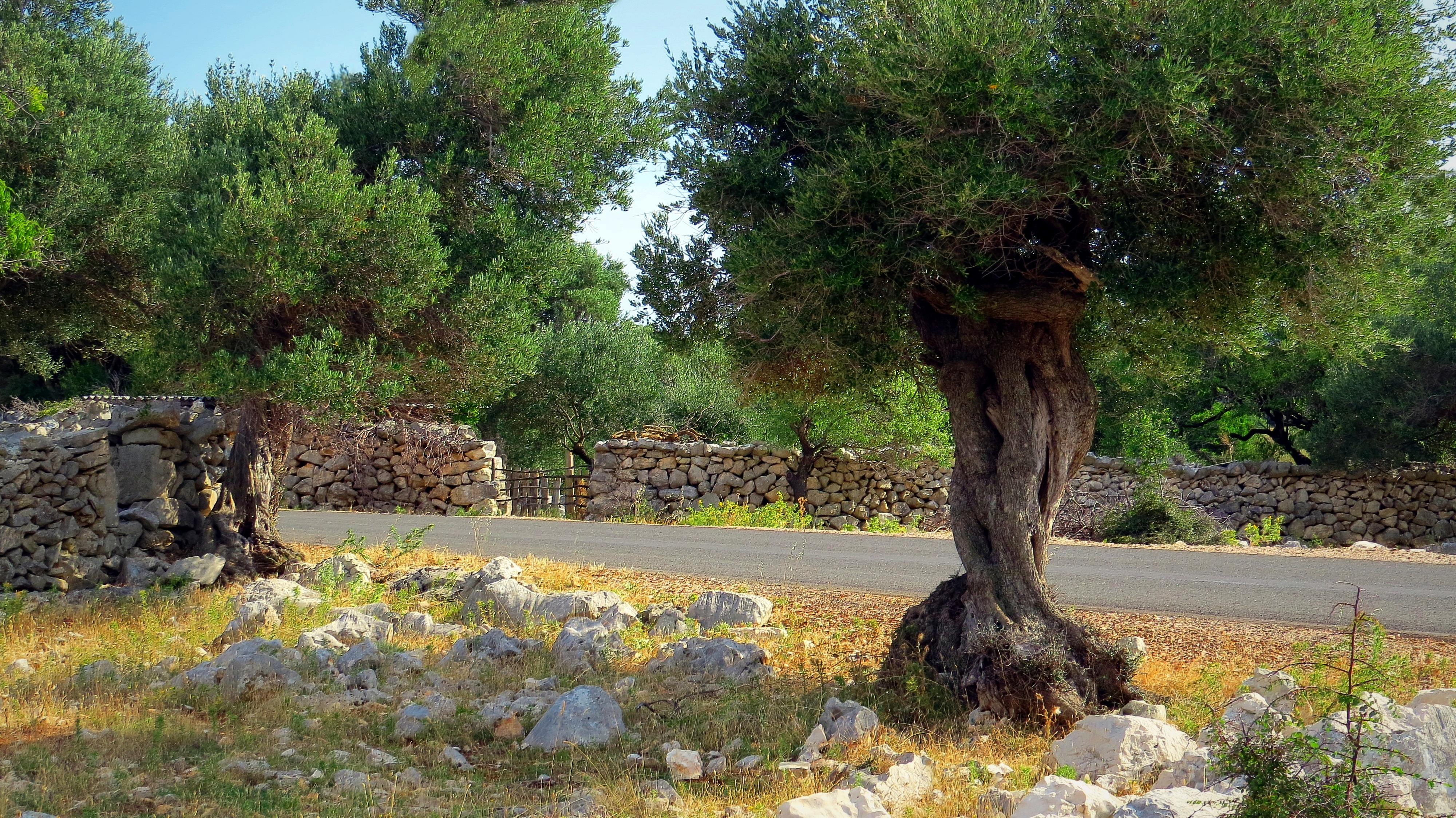 Olives Trees Along the Roadside. Puglia.